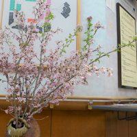 来週まで桜が持ってくれますように